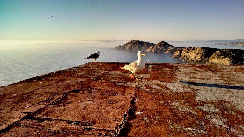 Gaviotas en las islas Cíes