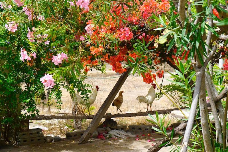 Gallos en Baucau