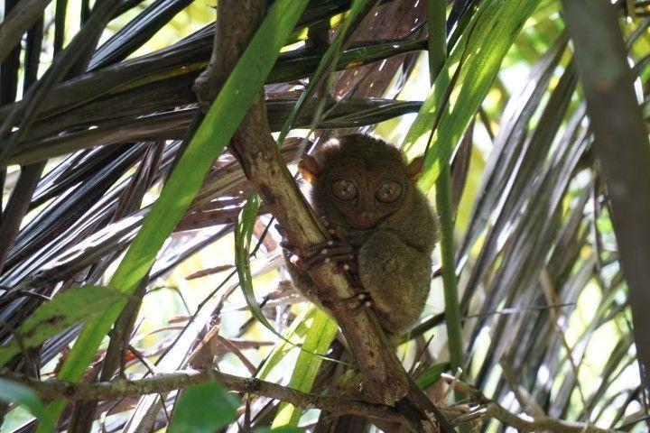 Nos saluda un tersier (o tarsero) en su santuario en Bohol. Son animales solitarios y nocturnos que no miden más que el puño de nuestra mano.