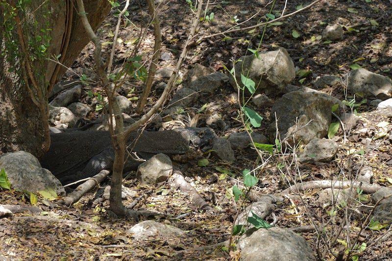 Dragón de Komodo en Rinca, camuflado al lado de un árbol