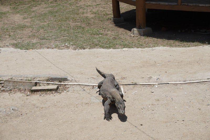 Dragón de Komodo moviéndose