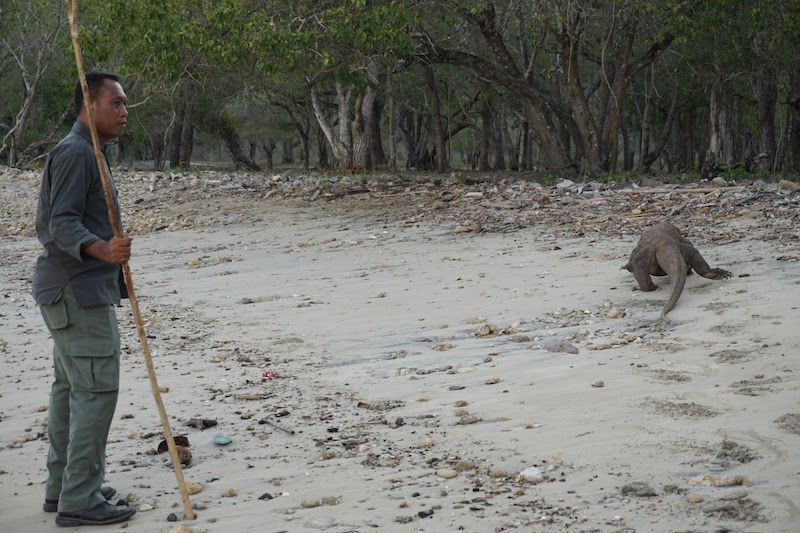 Dragón de Komodo playa