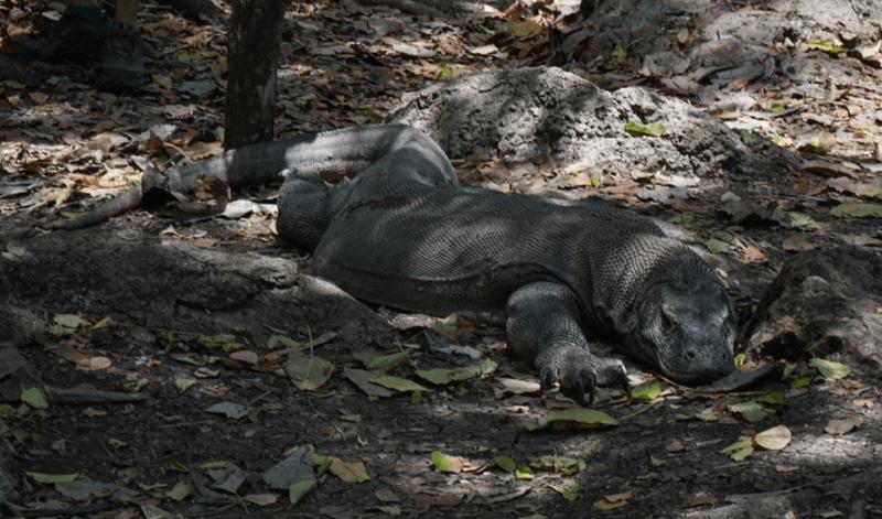 Dragón de Komodo en Rinca