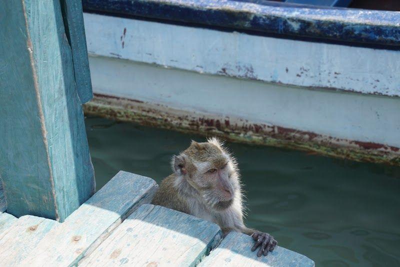 Mono en Rinca (Komodo)