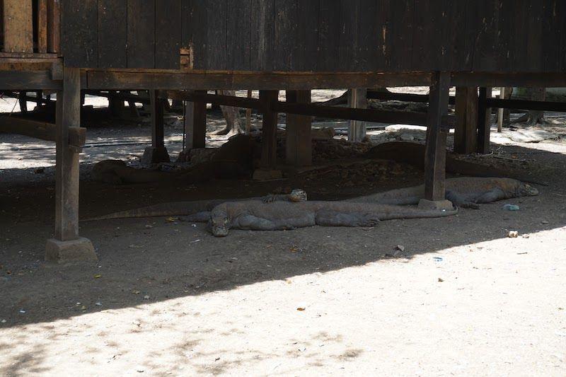 Tres dragones de Komodo a la sombra en Rinca