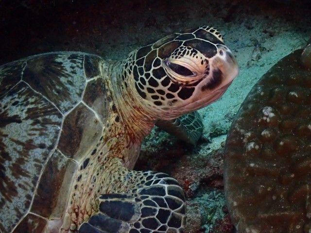 Una simpática tortuga en Sipadan, Borneo