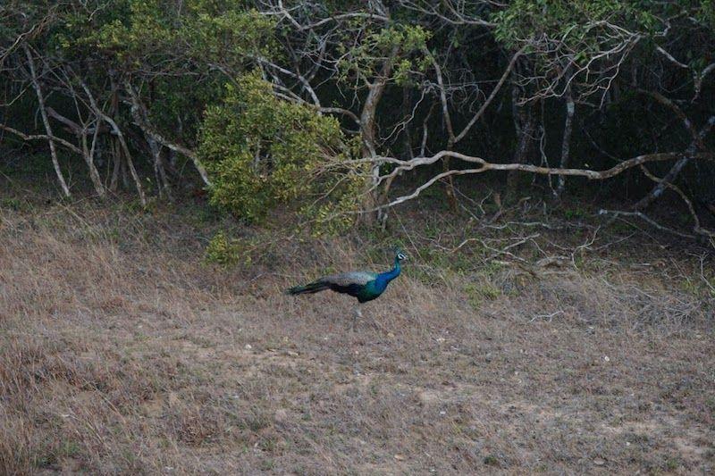 pavo real en wilpattu national park