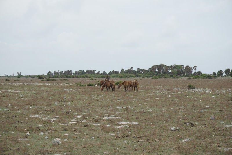 caballos salvajes en Delft