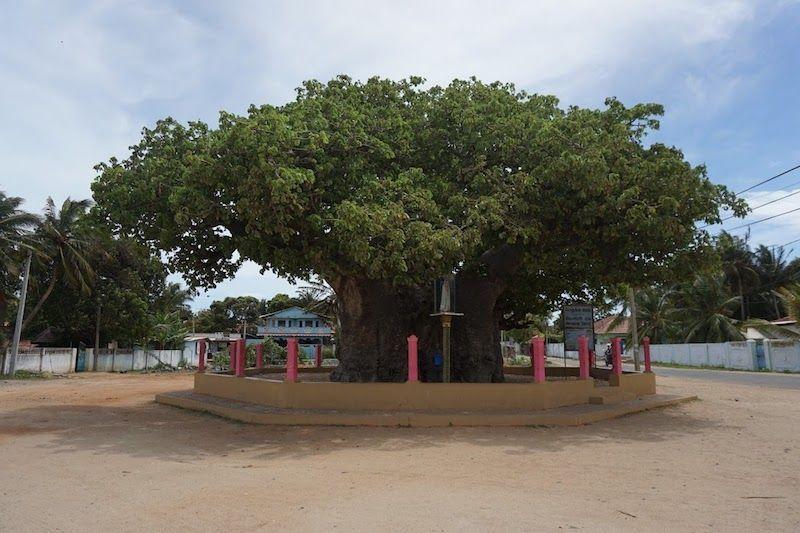 baobab mannar