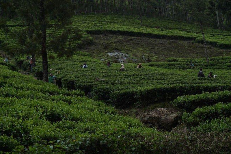 mujeres-recolectoras-té-munnar