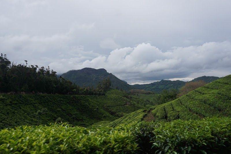 munnar-plantaciones-té