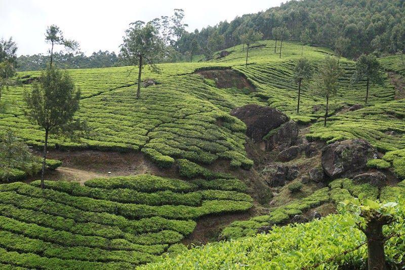 munnar-plantaciones de té