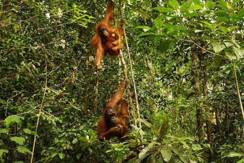 Además de verlos en completa libertad en Ketambe (Sumatra, Indonesia), volvimos a ver orangutanes en un centro de rehabilitación en Borneo.