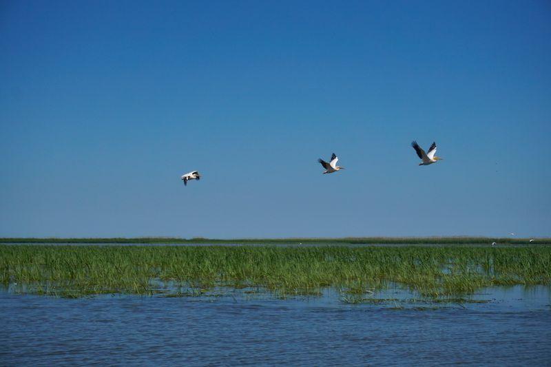 """Pelícanos, una de las aves """"estrella"""" del delta del Danubio"""