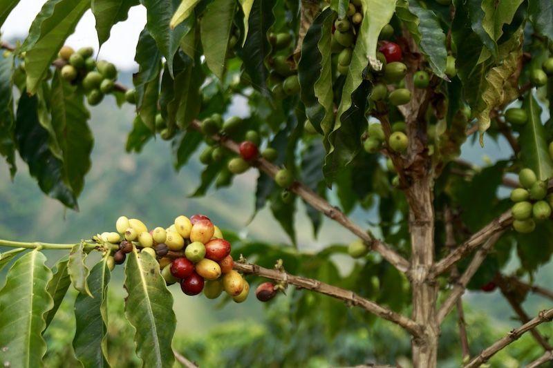 Hicimos un trekking por las plantaciones de café de la hacienda