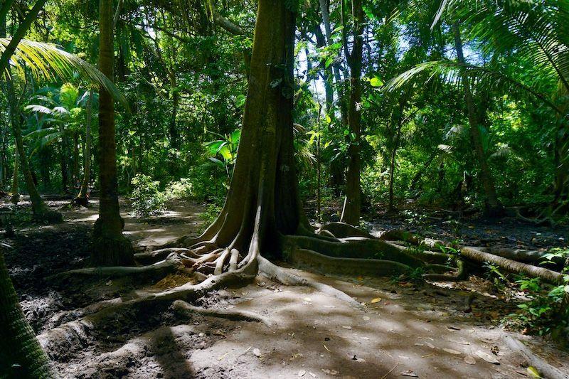 Un bello gigante y sus raíces en el Tayrona