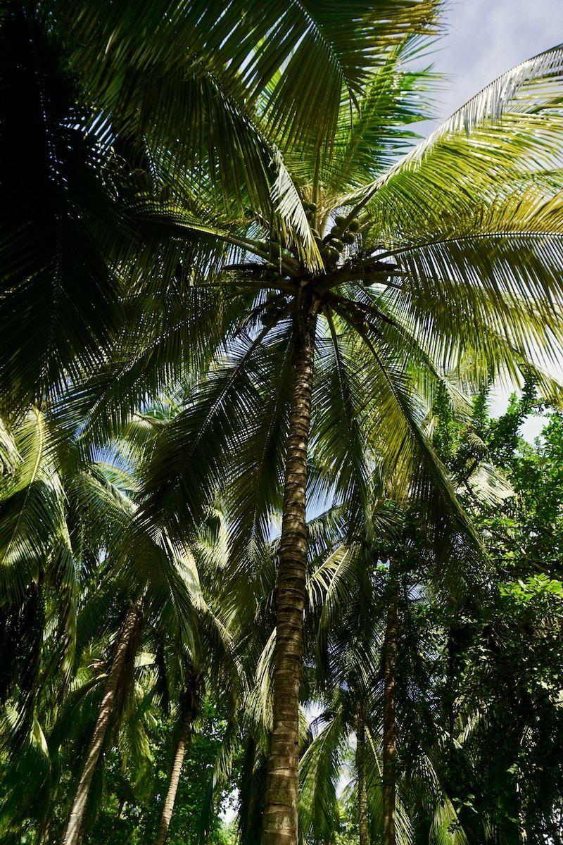 Las palmeras del Tayrona