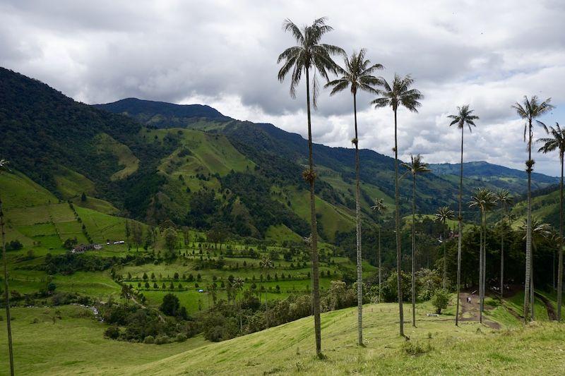 Las imponentes palmas de cera en el Valle del Cocora