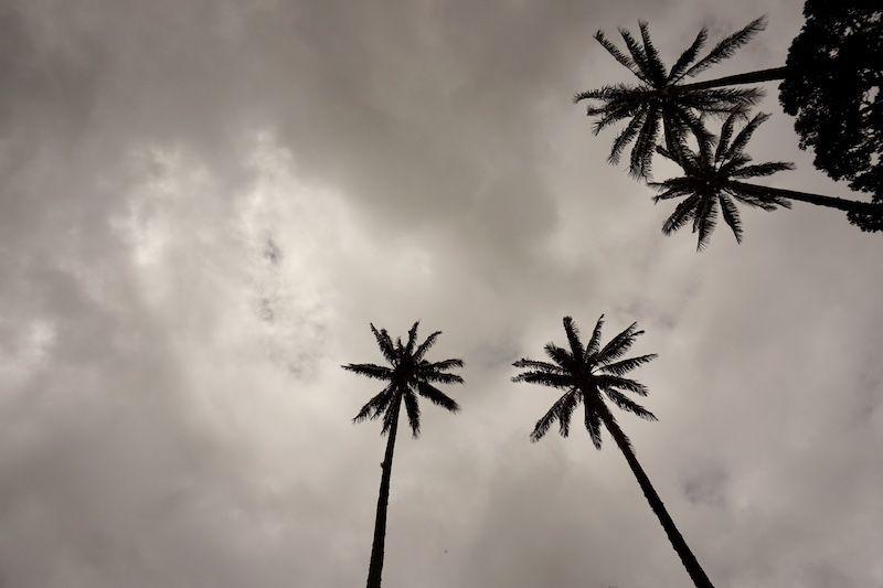 4 palmas de cera bajo el cielo nublado