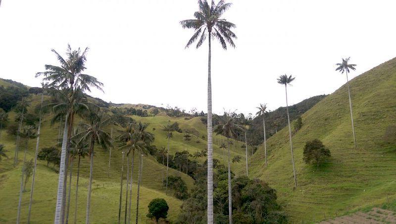 Palmas de cera en Valle de la Samaria.