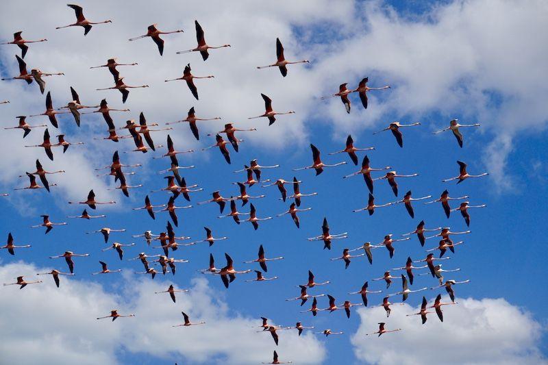 Flamencos volando en Camarones, Alta Guajira