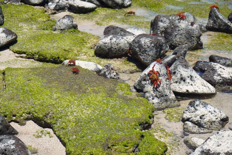 Cangrejos galapagueños