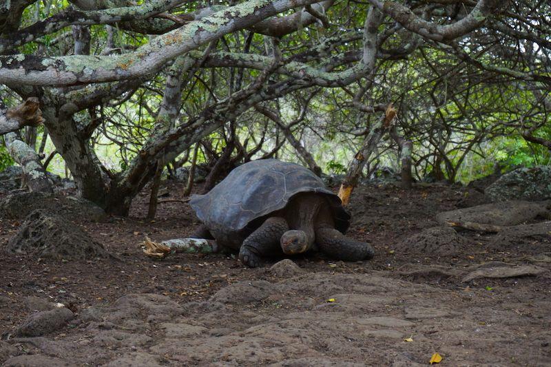 Una tortuga endémica, en la galapaguera de San Cristóbal