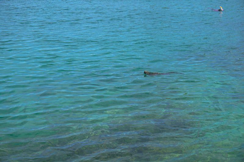 Una iguana marina en Concha Perla