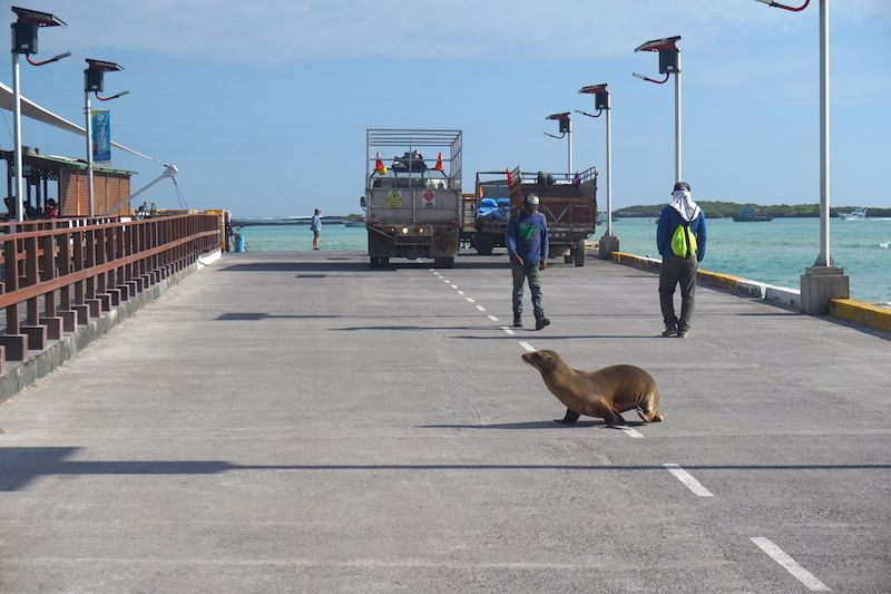 Un lobo marino cruzando la única carretera asfaltada de Isabela