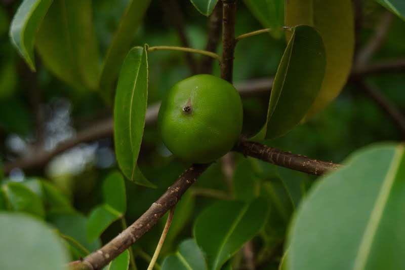 Aquí te ponemos una foto que sacamos al árbol de manzanillo para que sea más fácil que lo identifiques y lo evites