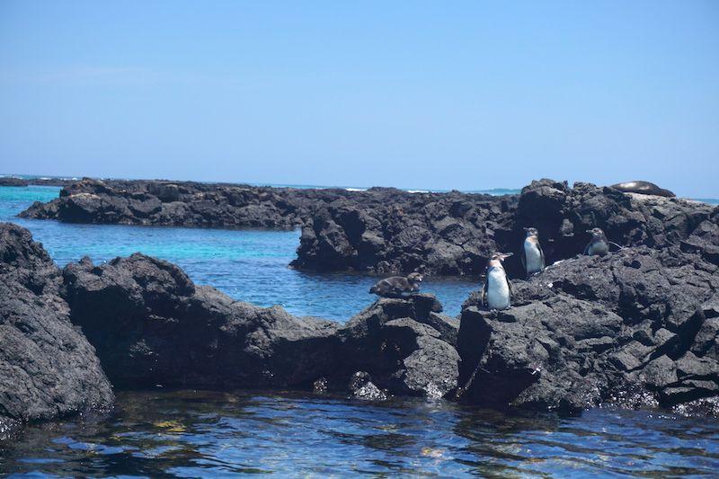 Pingüinos galapagueños