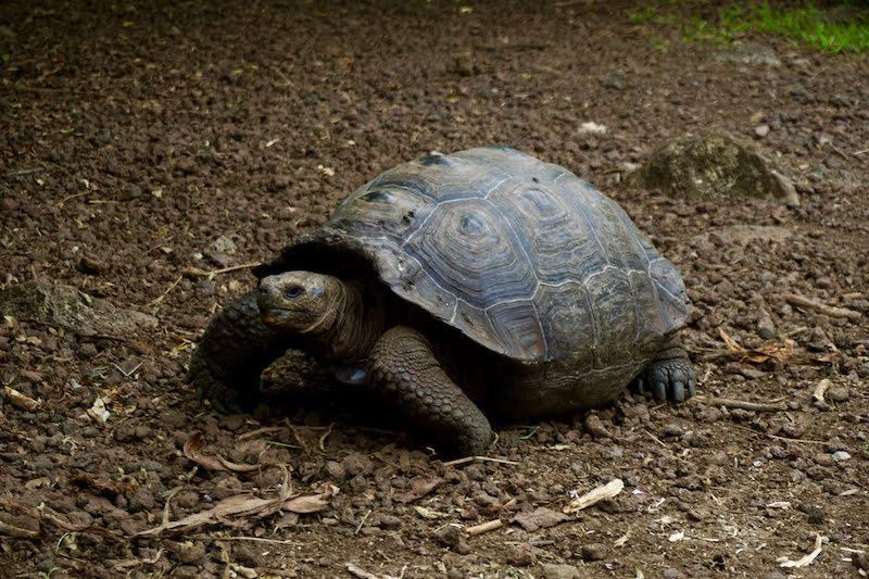 Una tortuga gigante paseando en libertad, Isabela