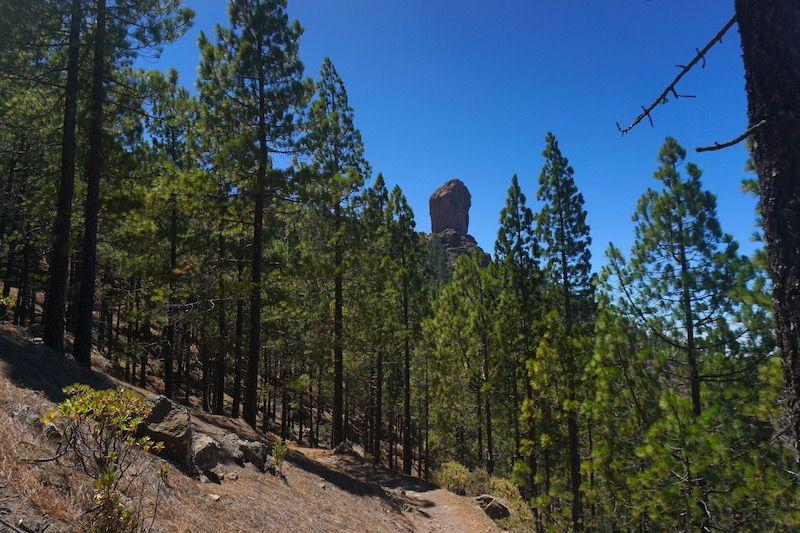 El bello pinar canario que rodea al Roque Nublo